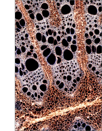 Microscopic Image of the plant Aristolochia sipho (Dutchmans pipe). Individual cells are visible well. Image shows the cross section of the stem.